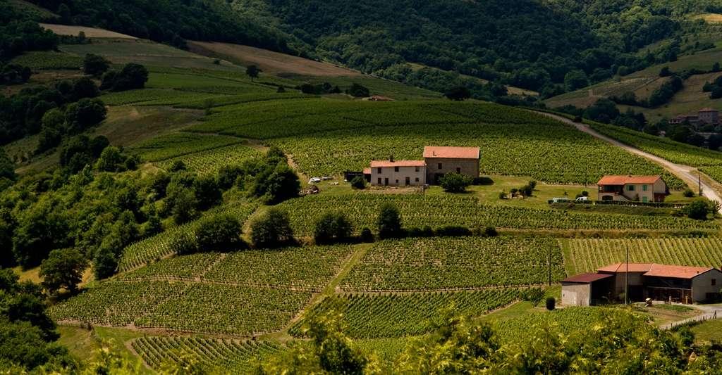 Vignes dans le département du Rhône. Venez y faire du tourisme. © Geoff Wong, Wikimedia Commons, CC by-nc 2.0