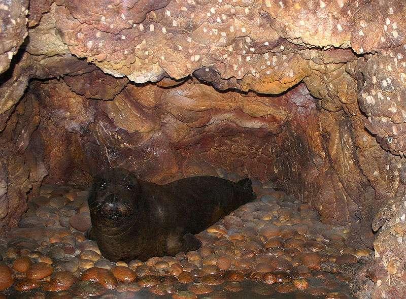 Phoque moine de Méditerranée dans une grotte sous-marine. © Giovanni Dall'Orto, CCA-SA 2.5 Italy license