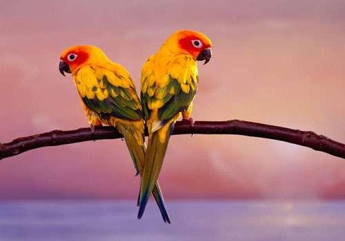 Perroquet Conure