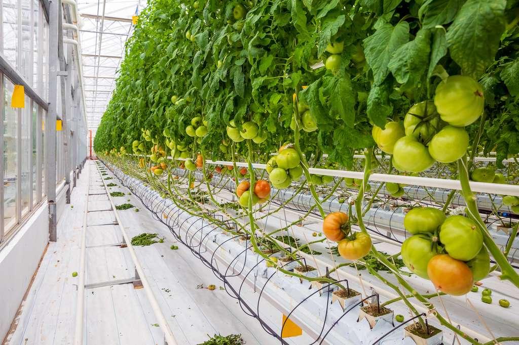 En France, 70 % des tomates sont cultivées hors sol. © ivas76, Fotolia