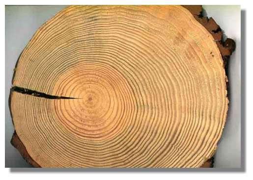 Figure 9. Section transversale d'un tronc de pin. On distingue une région centrale ou coeur et une région périphérique ou aubier et tout à fait à l'extérieur, l'écorce. Le bois est formé de 38 couches concentriques ou cernes. © Photo R. Prat