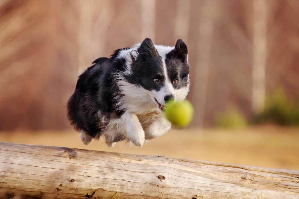 L'un des tests, effectué avec des chiens actifs dans des fermes du pays de Galles, consistait à se frayer un chemin jusqu'à de la nourriture, visible mais située derrière une barrière. © Anna Tyurina, shutterstock.com
