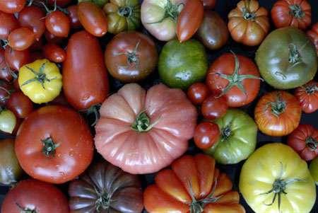 Pour chaque espèce, il existe une diversité génétique à préserver. Exemple de la tomate. © Licht-Gnis
