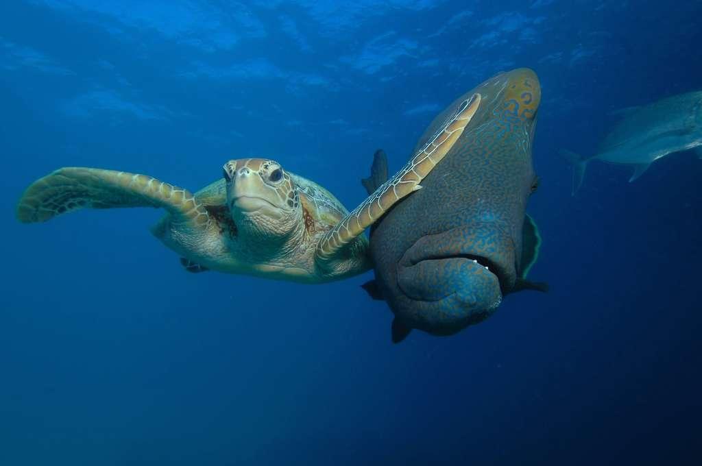 Voici une tortue… ninja ! Il peut arriver que certains animaux se sentent un peu à l'étroit dans l'océan. © Troy Mayne, Comedy Wildlife Photography Awards