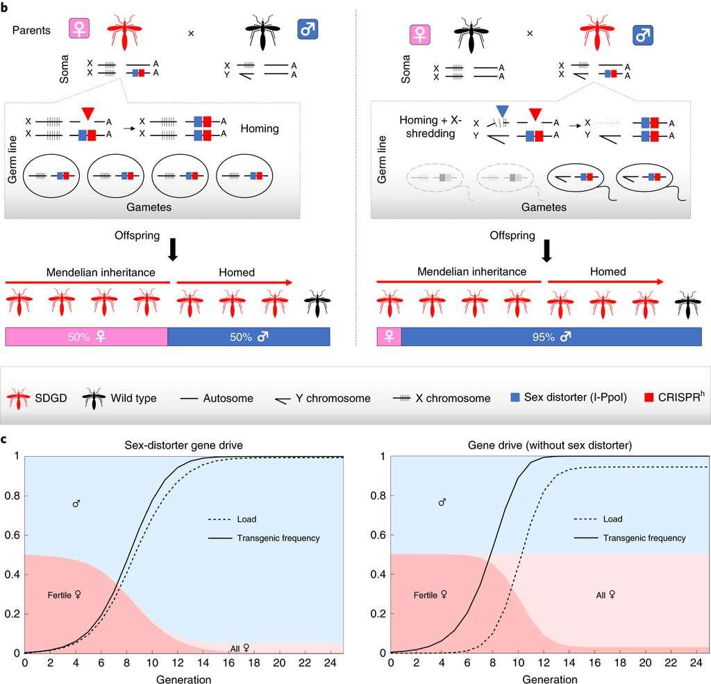 Chez la femelle génétiquement modifiée (en rouge), seul le gène de forçage génétique (carré rouge) est actif. Chez le mâle, les deux allèles modifiés sont actifs, dont le deuxième qui détruit le chromosome X lors de la transmission (carré bleu). On aboutit ainsi à l'élimination progressive des femelles. © Alekos Simoni et al, Nature, 2020