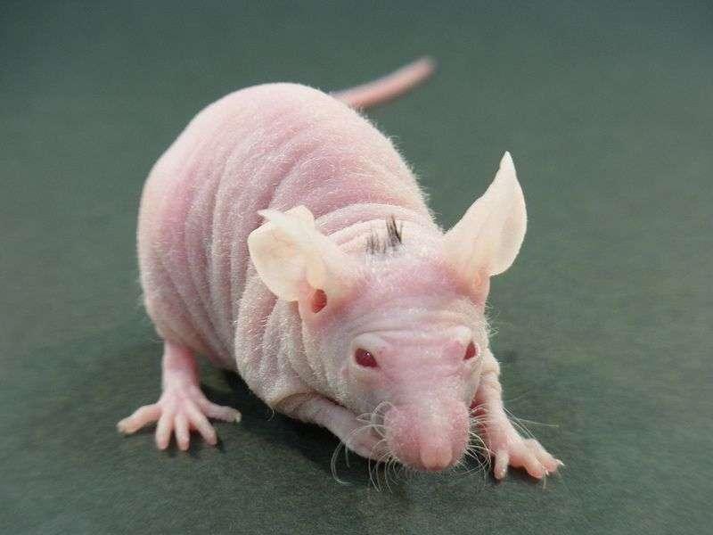 Dans une étude précédente, des chercheurs avaient déjà fait pousser quelques cheveux sur la tête de souris sans poils. © Tokyo University of Science, T. Tsiuji