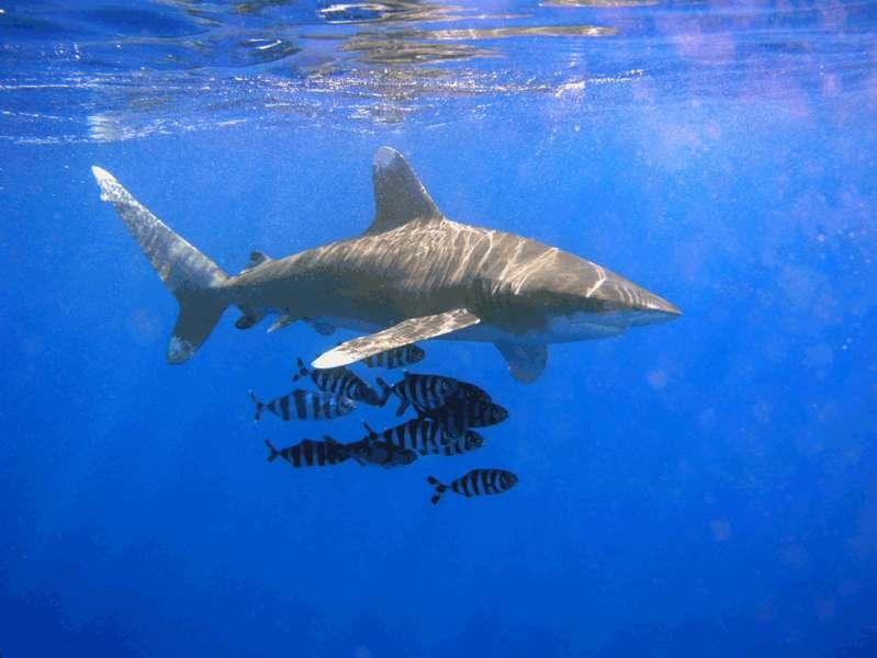 Requin longimane. © OldakQuill, GNU FDL Version 1.2