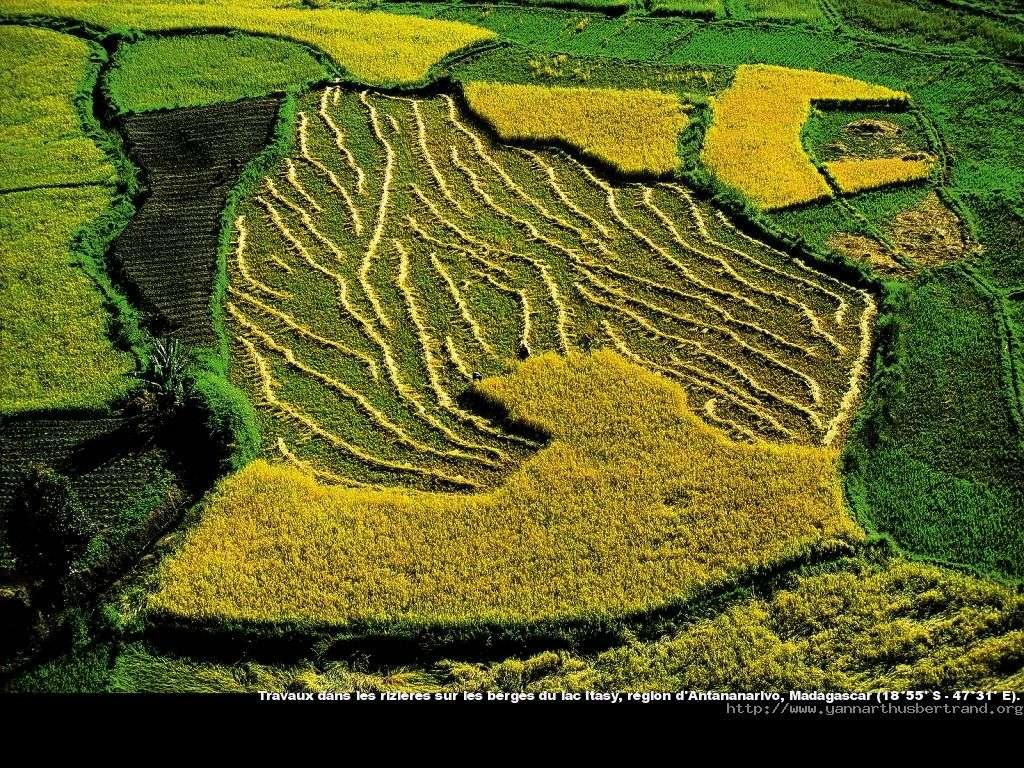 Travaux dans les rizières sur les berges du lac Itasy, région d'Antananariv