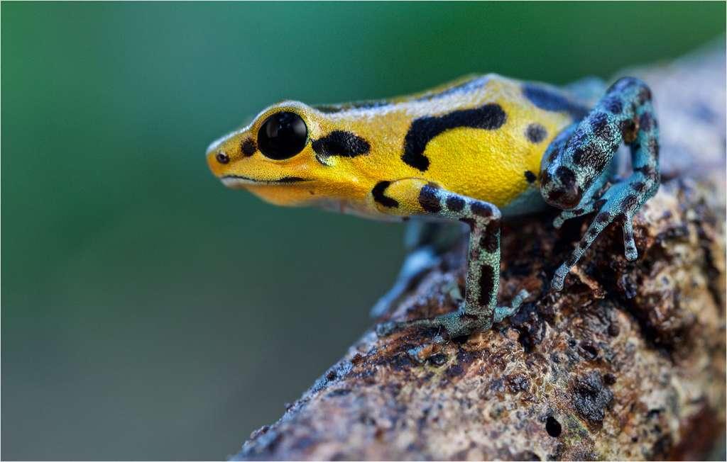 Oophaga pumilio, une grenouille aux couleurs variées