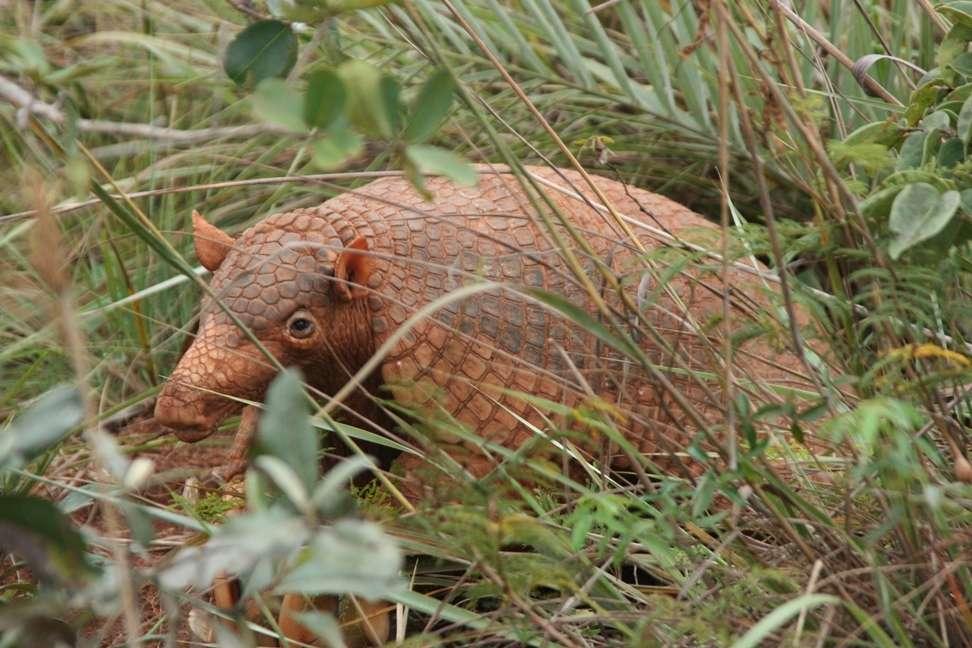Le tatou géant ou Priodontes maximus, le mammifère terrestre le plus denté, est classé vulnérable sur la liste rouge de l'UICN. © Carly Vynne, UICN