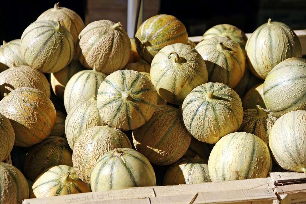 Les craquelures autour du pédoncule sont le signe que le melon est bien mûr. © kristina rütten, Adobe Stock