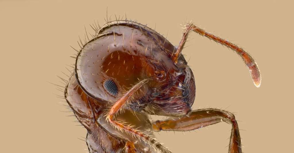 Portrait d'une fourmi rouge solenopsis invicta. © Insects Unlocked - Domaine public