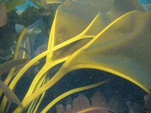 L'algue au V d'or vit dans une mer froide mais se réchauffe près de sources chaudes © Max Hoberg