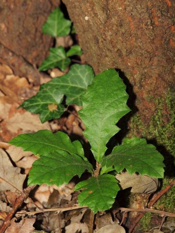 Le chêne chevelu est également appelé chêne de Bourgogne. © Falkner/sokol, Flickr CC by 2.0