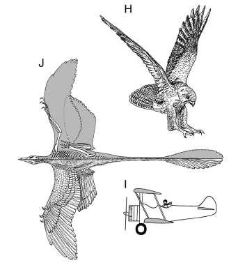 En repliant ses ailes arrière sous son corps, le Microraptor trouvait la posture qu'utiliseront, plus de cent millions d'années plus tard, les rapaces pour attraper leurs proies et quelques humains pour faire voler de drôles d'engins… © Sankar Chatterjee / Jack Templin