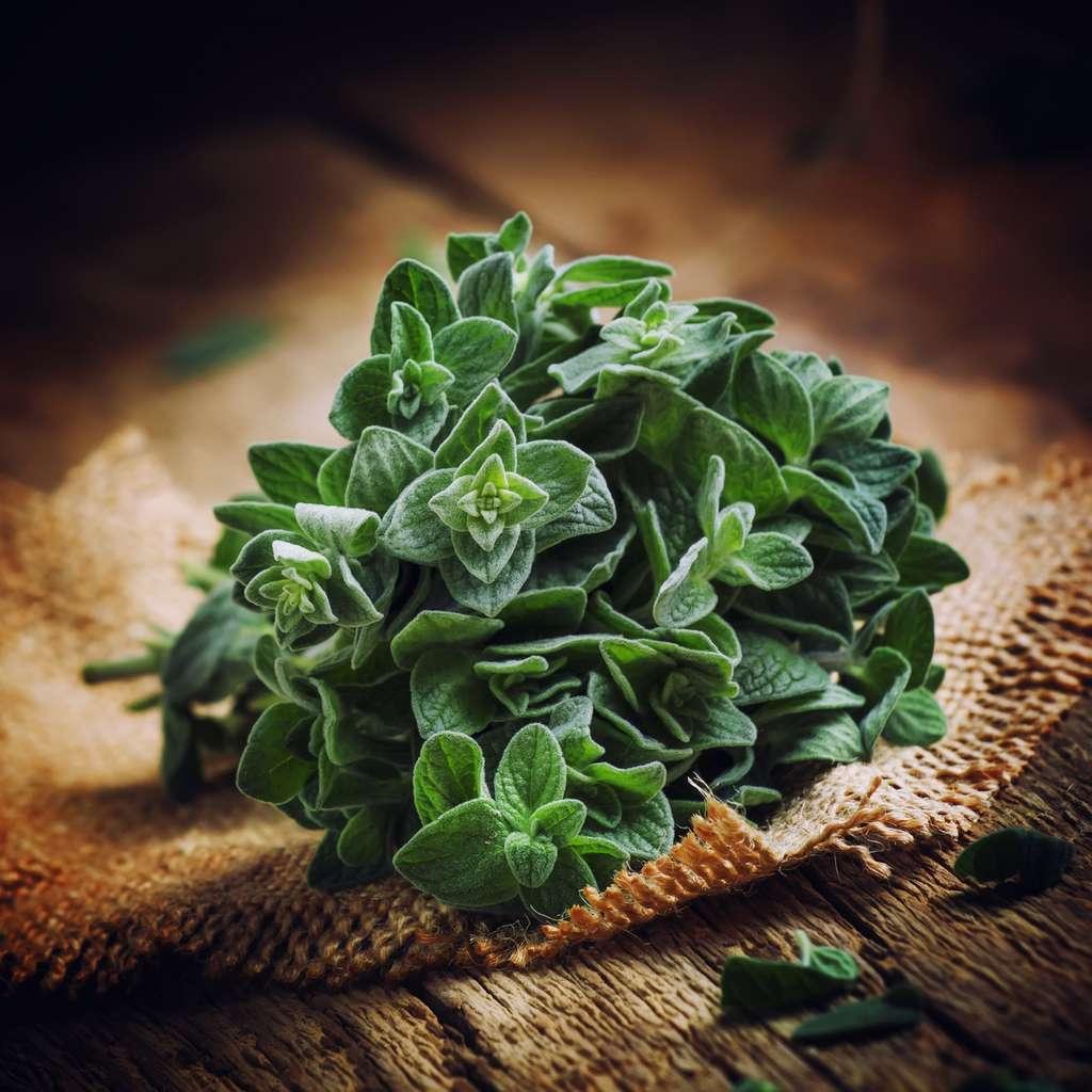 L'origan, une plante aromatique qui possède des propriétés médicinales. © 5ph, Fotolia