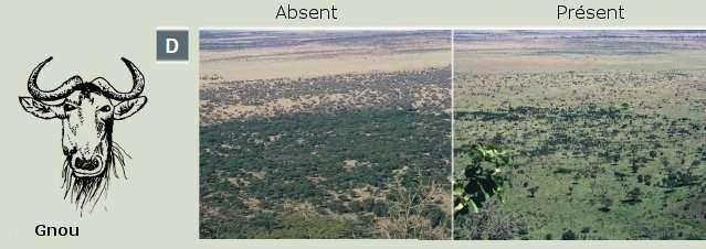 Impact de grands herbivores, comme le buffle ou le gnou, sur le couvert végétal des plaines de l'Afrique de l'Est. © Estes et al., 2011