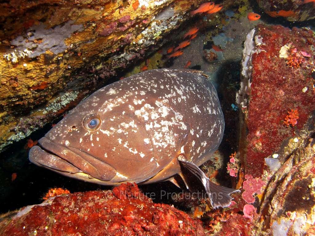 Pouvant vivre jusqu'à 200 m de profondeur, le mérou brun se montre peu farouche. © S. Ruitton, DR