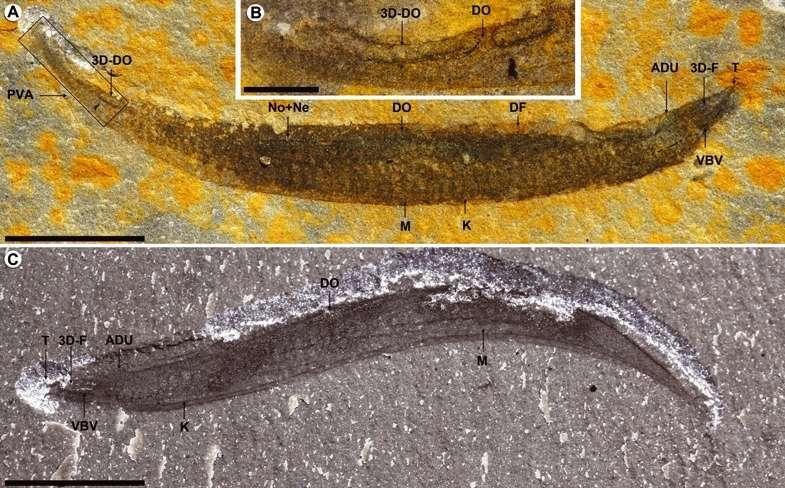Deux spécimens de Pikaia gracilens. La région dorsale pointe vers le haut. Sur les photographie A et B, la tête de l'animal est à droite (gauche sur l'image C). L'image B est un agrandissement de la région caudale de l'animal présenté en A. Légende des structures les plus importantes : DO, nageoire dorsale ; M, myomère ; No, notochorde ; Ne, tube nerveux ; T, tentacules de la tête ; F, intestin antérieur. Les barres d'échelle représentent 5 mm sur les photographies A et C et 1 mm sur l'agrandissement B. © Simon Conway Morris et Jean-Bernard Caron, Biology Reviews 2012