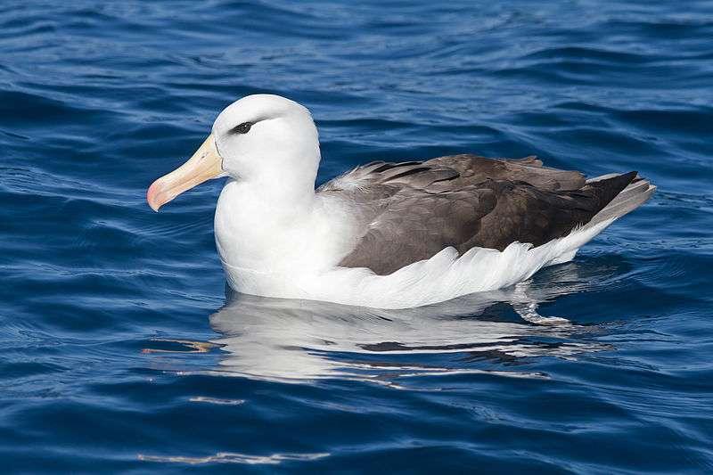 Albatros à sourcil noir sur l'eau. © JJ Harrison, CC-by-SA 3.0