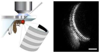 La drosophile, placée sous le microscope, regarde une série de mouvements lumineux sur un écran. Pendant ce temps, son cerveau est observé en direct pour analyser l'activité spécifique des cellules neuronales monopolaires L2. © Max Planck, Institut de Neurobiologie / Nature Neuroscience