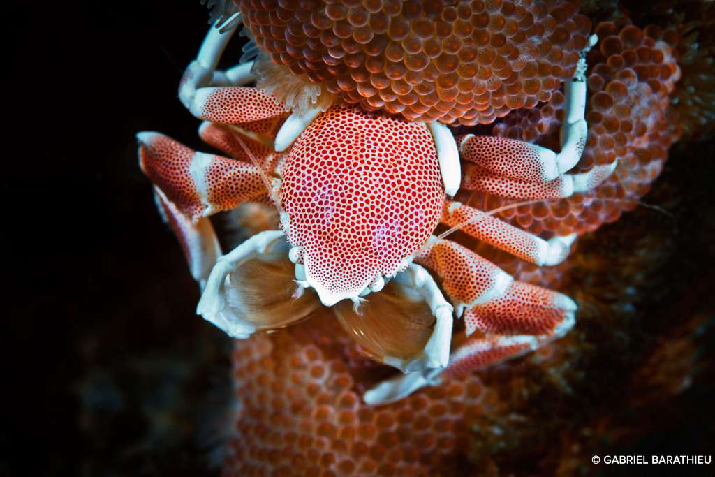 Le crabe porcelaine, merveille de la nature