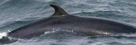 Baleine de Minke (GNU Free Documentation License).