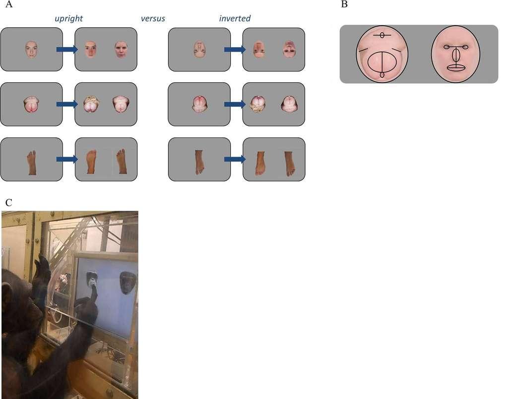 Expériences réalisées. A : en haut, des visages humains ; au milieu, des fesses de chimpanzés et en bas, des pieds humains. Les images de droite sont inversées (inverted, en anglais). La bonne réponse est, de haut en bas : gauche, droite, droite. B : points communs entre le visage humain et les fesses de chimpanzés. C : un chimpanzé au cours d'une expérience. © Kret et Tomonaga, Plos One