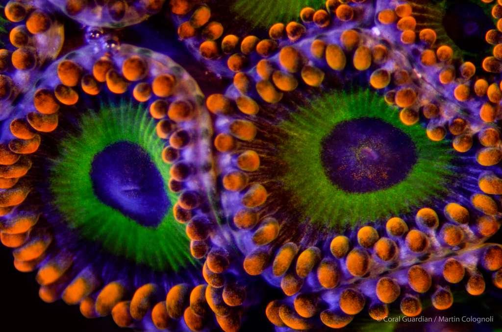 Zoanthus-sp. est un petit corail mou vivant en colonie par souci de protection contre ses prédateurs. © Martin Colognoli, Coral Guardian - Tous droits réservés, reproduction interdite