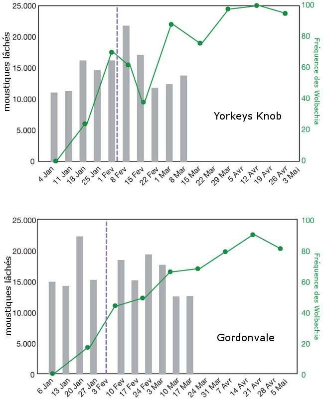 Taux de larves de moustiques infectées par la bactérie, retrouvées dans les pièges. Le graphique indique également les lâchers de moustiques infectés. La ligne en pointillés marque la date d'un ouragan qui a empêché un lâcher à Gordonvale et l'inspection d'un piège à Yorkeys Knob. © Hoffmann et al., 2011 - Nature