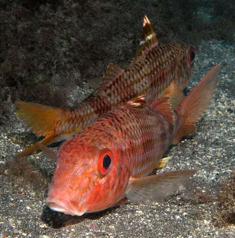 Certaines espèces de poissons, comme ces rougets-barbets Mullus surmuletus, n'ont pas encore de filière d'élevage développée, à cause de verrous techniques. © Philippe Guillaume, Flickr, cc by nc sa 2.0