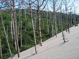 La dune du Pyla avance et les arbres qu'elle ensable meurent les uns après les autres. Il n'est pas rare de voir ressortir un tronc, quelques décennies ou siècles plus tard sur l'autre versant de l'édifice. © François Michel