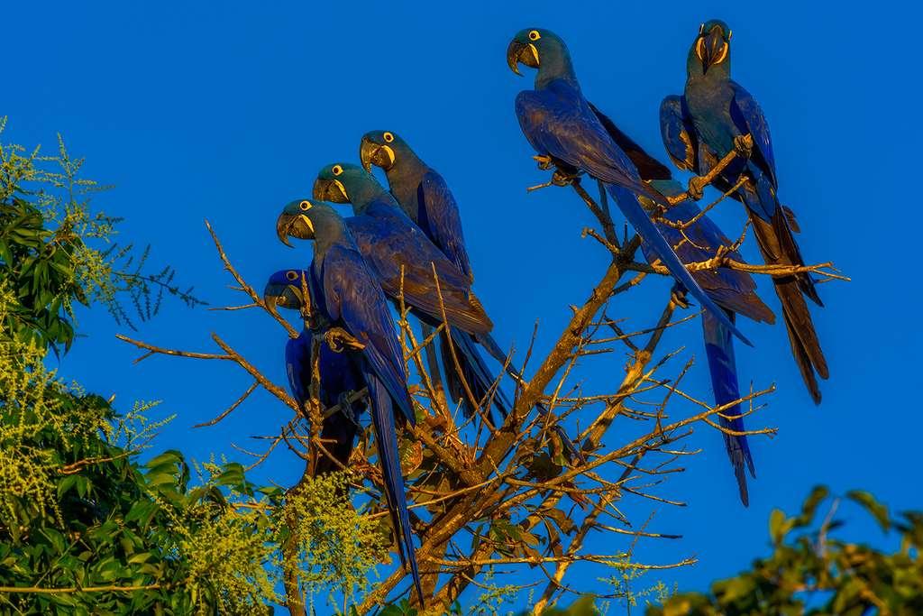 L'Ara bleu (Anodorhynchus hyacinthinus) est l'oiseau emblématique du Pantanal (Brésil). © Marcio Cabral, Tous droits réservés, Reproduction interdite