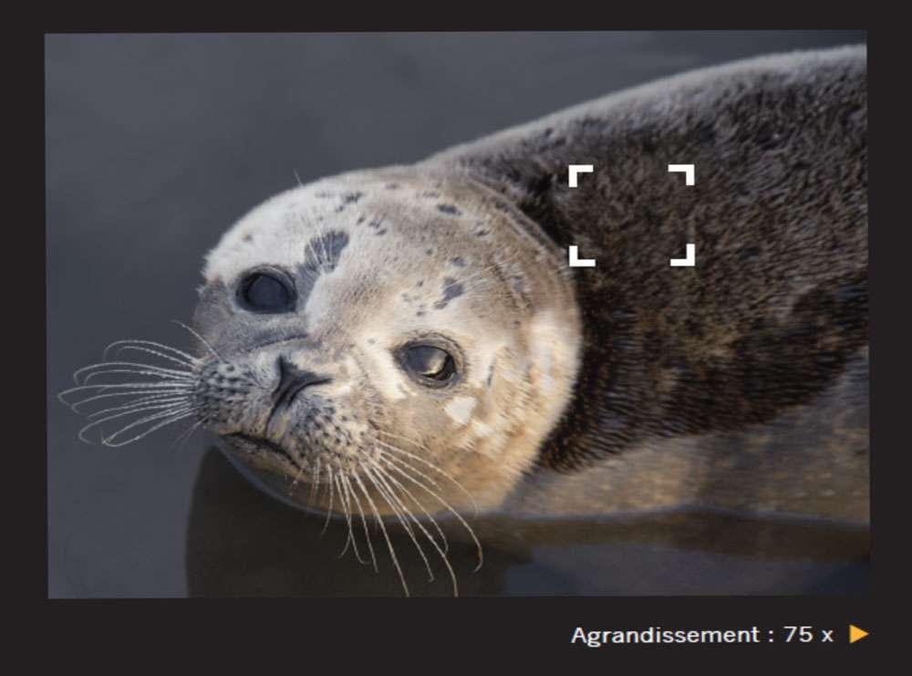 Poils aplatis de la fourrure d'un phoque. Ces animaux peuvent mesurer jusqu'à six mètres selon les espèces. © Giles Sparrow, Dunod, DR