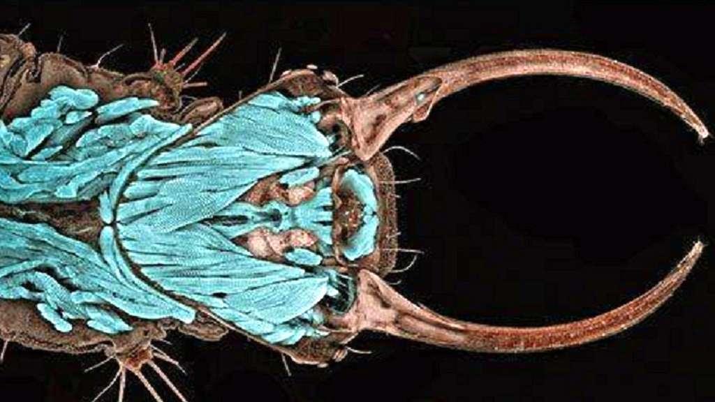 Portrait d'une larve de chrysope