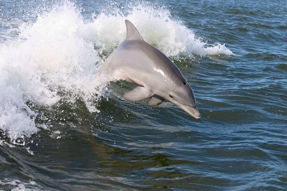 Le dauphin est un cétacé odontocète. © The Pug Father, Flickr CC by 3.0