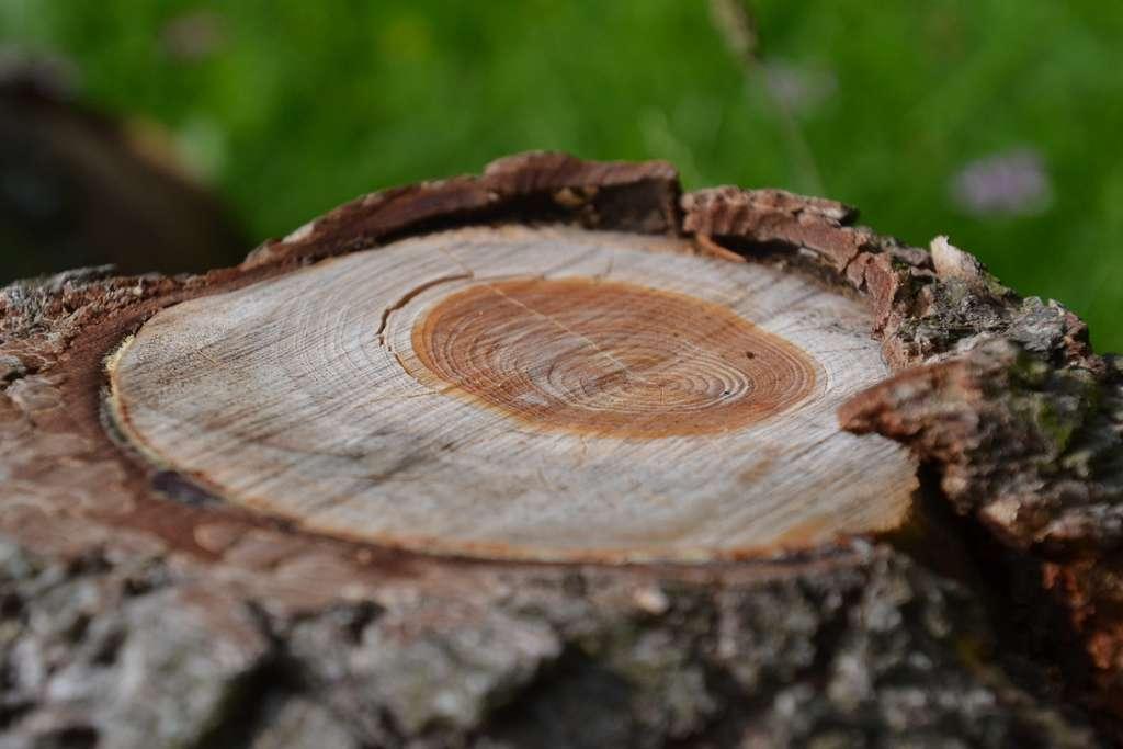 Lorsqu'elles sont suffisamment puissantes, les tempêtes solaires provoquent des pics de carbone 14 enregistrés dans les cernes des arbres. © Jeanne Menjoulet, Flickr