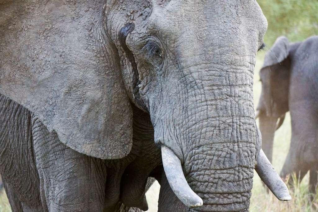 Les éléphants d'Afrique Loxodonta africana mesurent 3 à 3,5 m de haut au garrot, pour un poids compris entre 4 et 6 t selon le sexe. Ils peuvent vivre jusqu'à 60 ans, voire parfois 70 ans. © kalyan3, Flickr, cc by nc sa 2.0