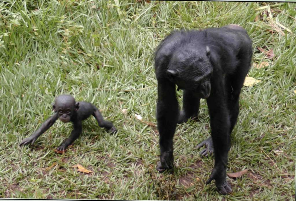 Lisala et bébé Nyota Loya née le 04/12/11. © Lola Ya Bonobo DR