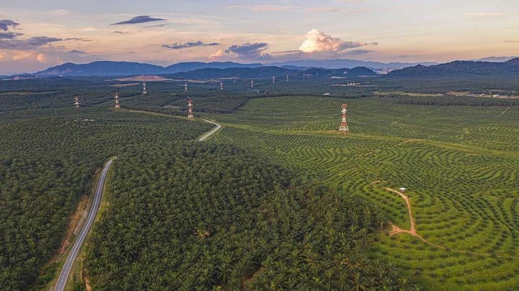 Plantation à perte de vue de palmiers à huile. © Holger, Adobe stock