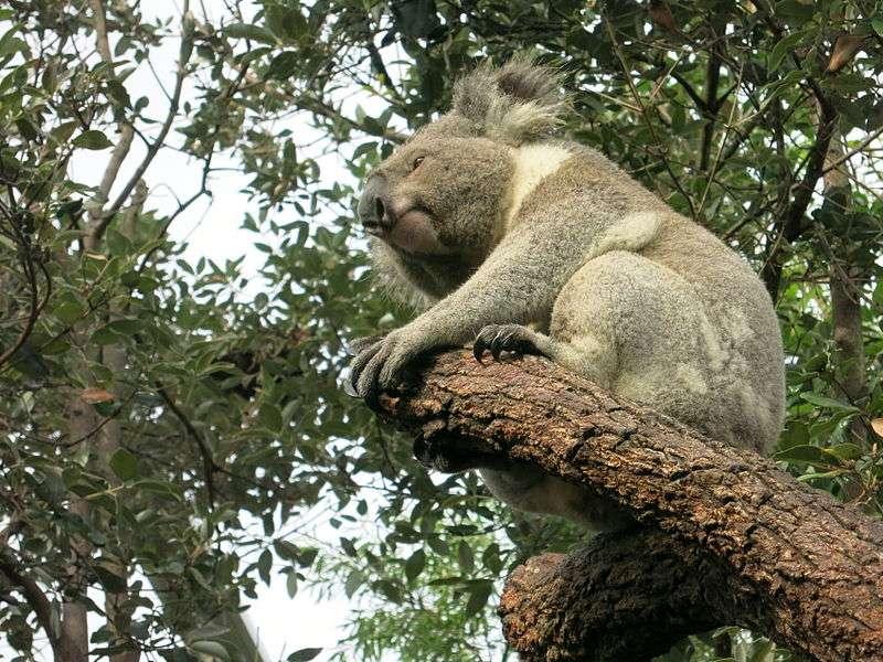 Koala dans un parc près de Sydney. © Douglas Paul Perkins, Wikipédia, cc by 3.0