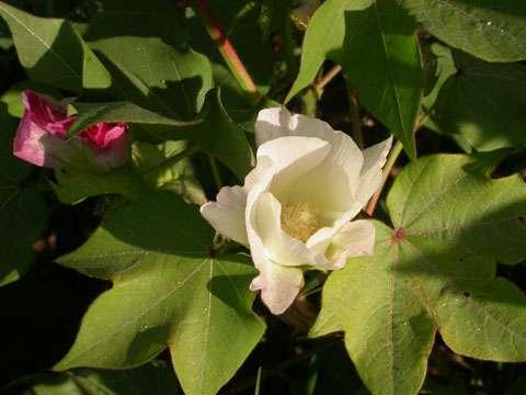 Fleur de coton © B.Media