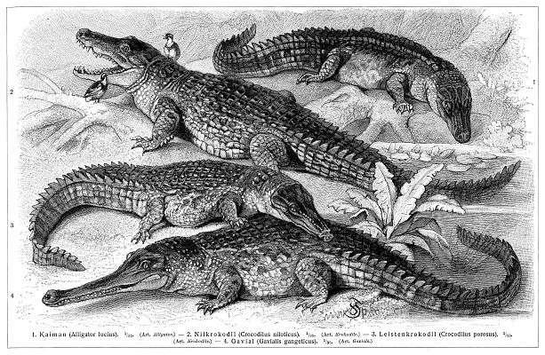 Les crocodiles font partie des reptiles. © Domaine public