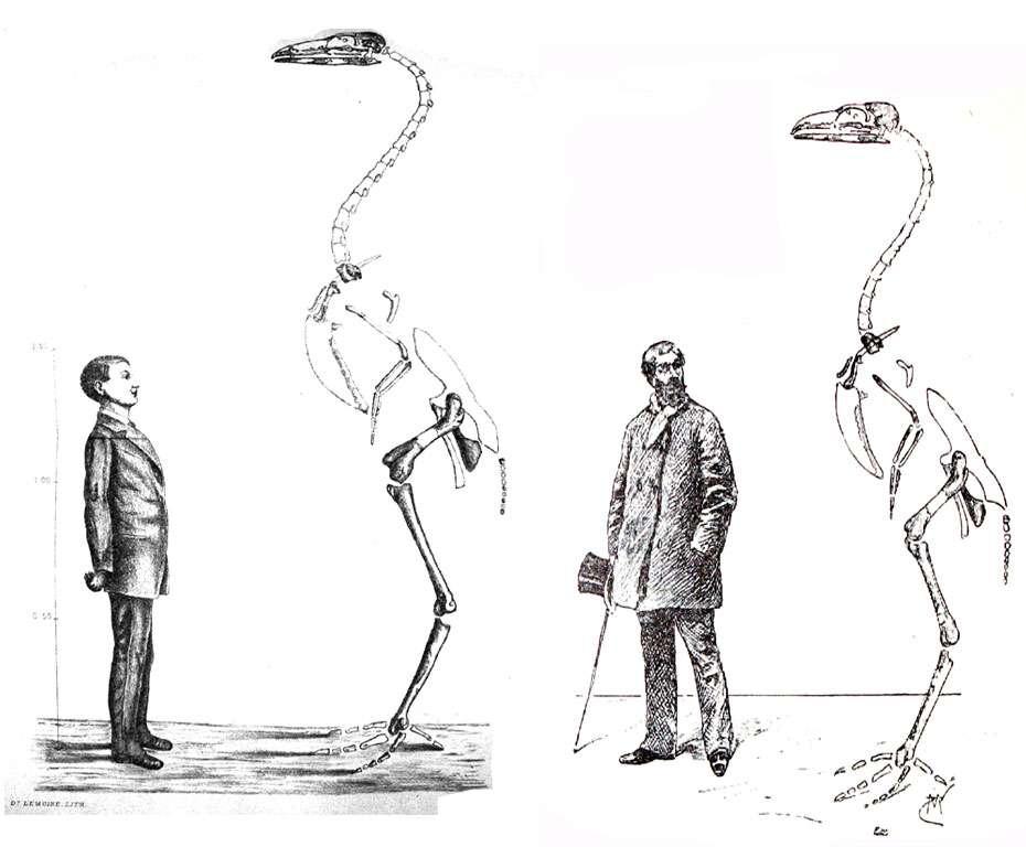 Reconstitution du squelette de Gastornis par Victor Lemoine, 1881 (à gauche) et par Stanislas Meunier, 1898 (à droite). Le jeune utilisé comme échelle par Lemoine devient un homme d'âge mûr chez Meunier, ce qui rend l'oiseau géant plus imposant encore. © DR