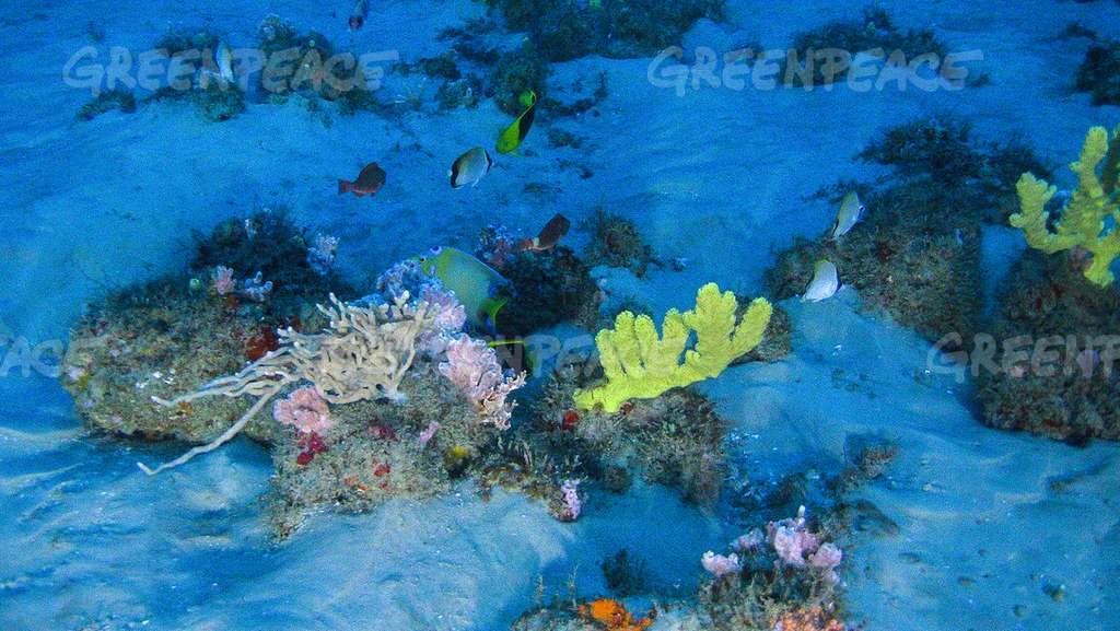 Des éponges et des rhodophytes du récif de l'Amazone. © Greenpeace