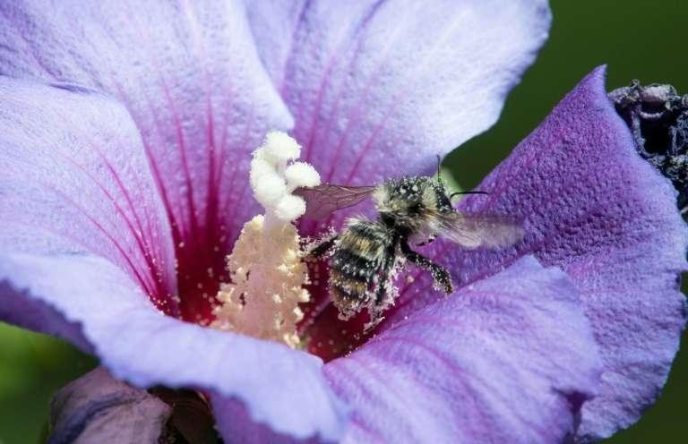 Une abeille dans une fleur d'hibiscus, le 25 juillet 2020 à Ludwigsburg, en Allemagne. Les ondes des téléphones portables pourraient jouer un rôle dans la mortalité des insectes, selon une étude publiée le 17 septembre 2020. © Thomas Kienzle, AFP