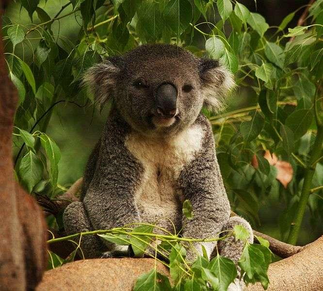 Portrait de koala. © Thomas, Wikipédia, cc by 2.0