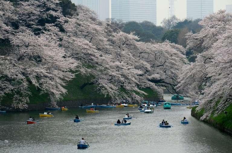 Les célèbres cerisiers du Japon fleurissent habituellement au printemps. Cette année, un phénomène inhabituel s'est produit : les cerisiers ont également fleuri en ce mois d'octobre. © Kazuhiro Nogi, AFP/Archives
