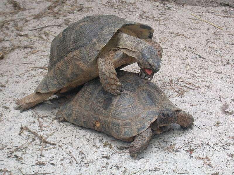 Accouplement de tortues bordées. Il peut y avoir jusqu'à trois pontes par été. © Massimo Finizio, Wikipedia, cc by sa 2.0