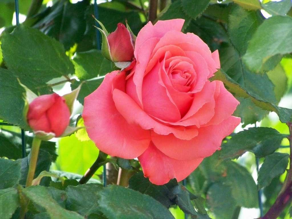 Certains rosiers fleurissent plusieurs fois dans l'année. © Cassiopée 2010, Flickr, CC by-nc-sa 2.0